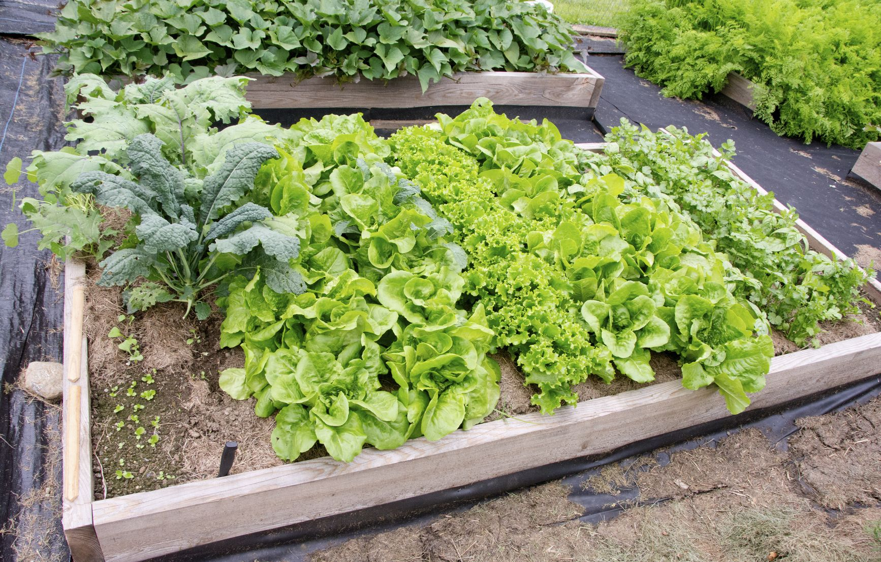 kale companion planting u2013 what are good companion plants for kale