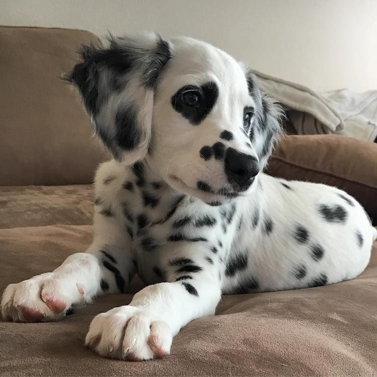 Adorable Dalmatian Has Lovely Heart-Shaped Spots Around His Eyes