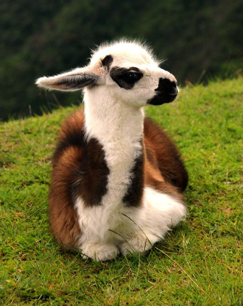 Pictures Of Cute Baby Animals To Draw Cute Baby Animals Backgrounds Cute Animals Cute Llama Baby Animals