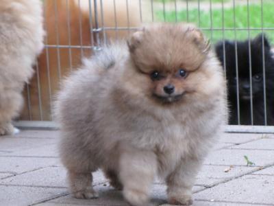 Zwergspitz Pomeranian Welpen » Hunde Pictures Boo the