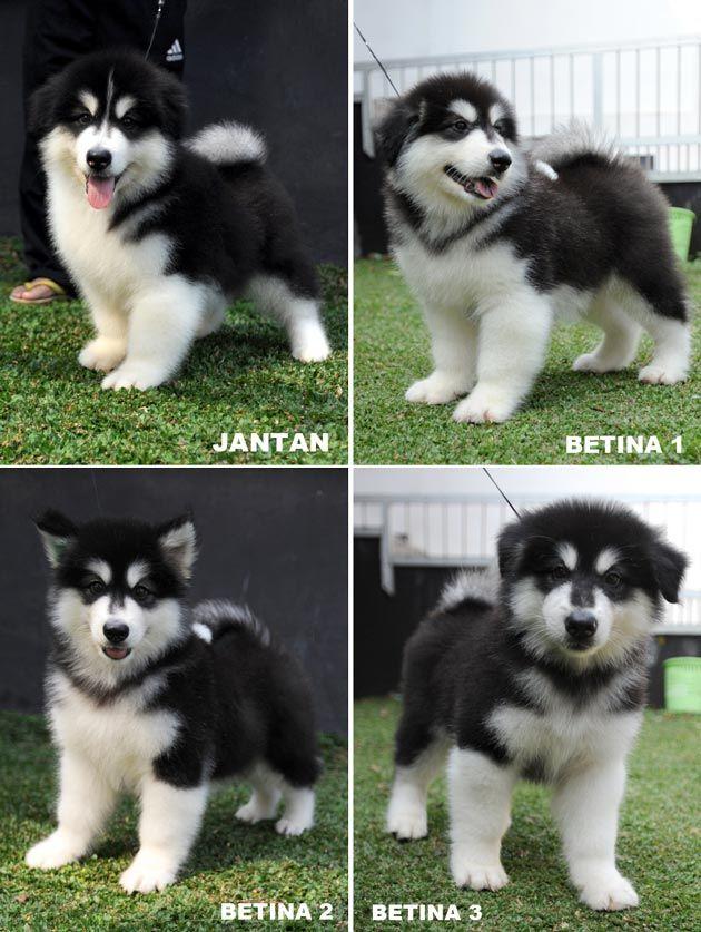Jual Anjing Alaskan Malamute Anjing Dijual Iklan Jual Anjing