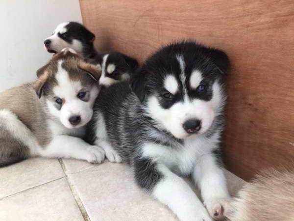 Free Siberian Husky Puppies In Illinois Miniaturehusky Free
