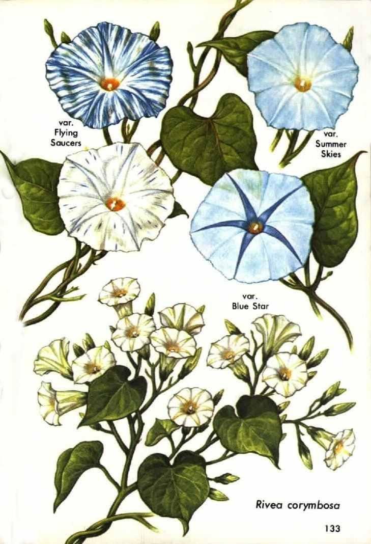 Erowid Online Books Golden Guide Hallucinogenic Plants Pg 131 140 Botanical Drawings Plant Illustration Plants