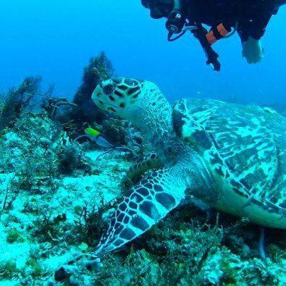 Diving with Sea Turtles  Isla Mujeres, Mexico Photo Facebook.com/IslaMujeresFiesta  (1) Isla Fiesta