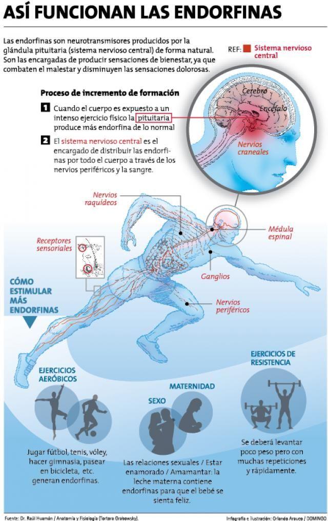 Las endorfinas son neurotransmisores producidos por la glándula ...