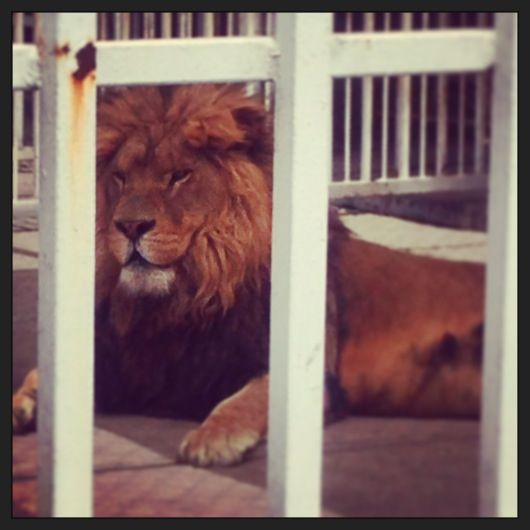 Lion en Amecameca