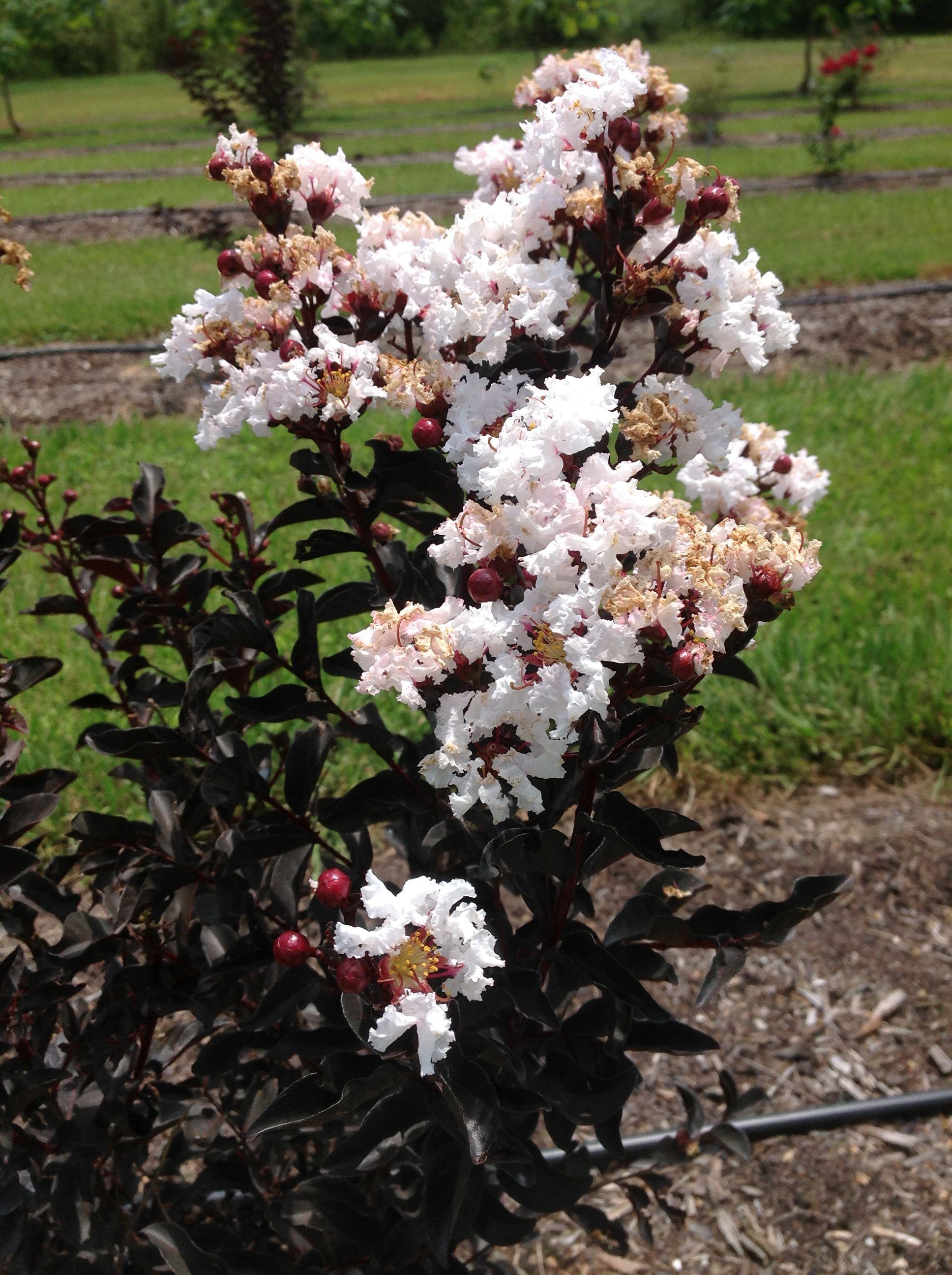 Black Diamond Pure White Crape Myrtle Plants Plants And More