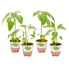 Bonnie 25 Oz Jalapeno Pepper Sweet Banana Pepper Plant 400 x 300