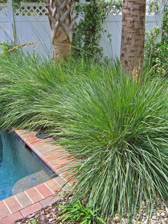 Paspalum Quadrifarium Cord Grass Fl Ornamental Grass