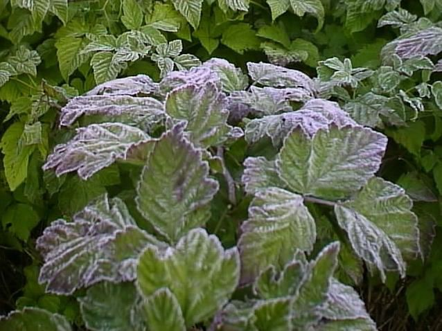 Prevent Plants From Frost By Watering Them Frost 400 x 300