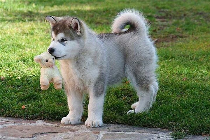 Husky With Toy Lamb Malamute Puppies Alaskan Dog Alaskan Malamute