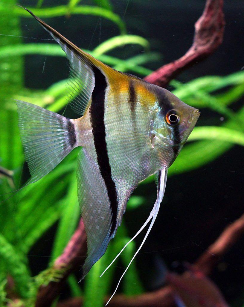 Angelfish care & info   Angel fish, Tropical fish aquarium, Angel ...