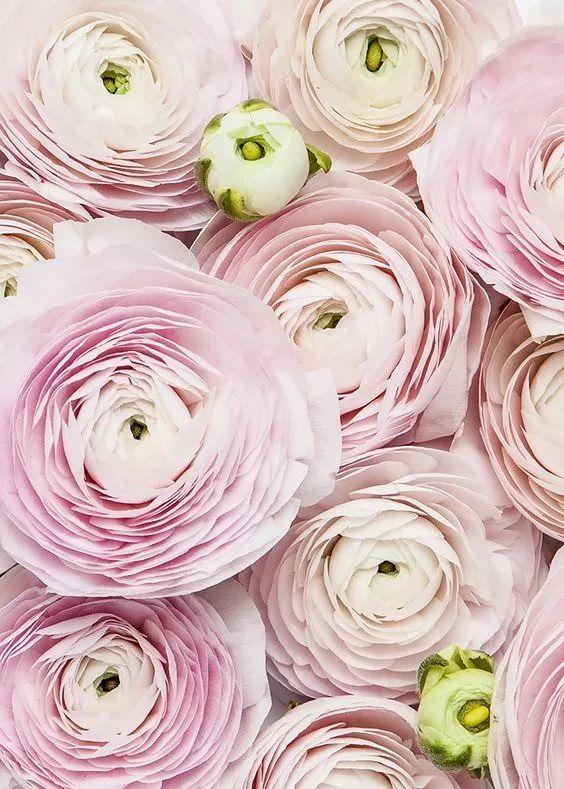 картинки цветы ранункулюсы высотой
