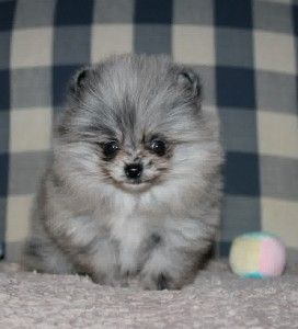 blue merle pomeranian puppies for sale