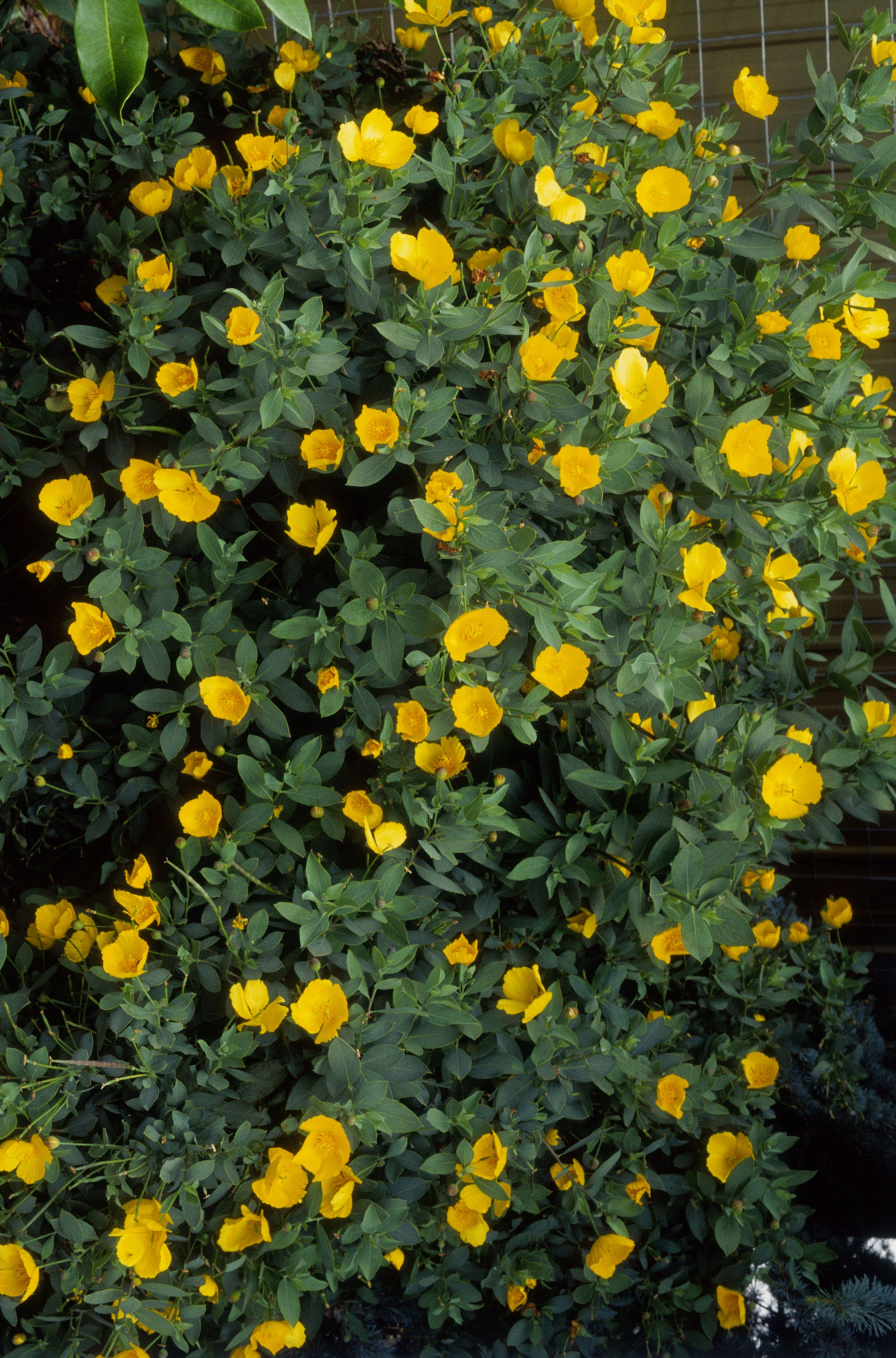 28 Low Water Flowering Shrubs Flowering Shrubs Shrub And Yellow