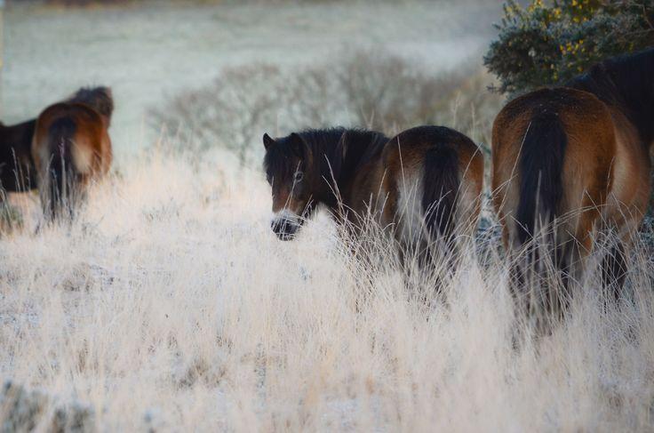 New Forest ponies on the Ashdown Forest  www.rachelsillsphotography.co.uk