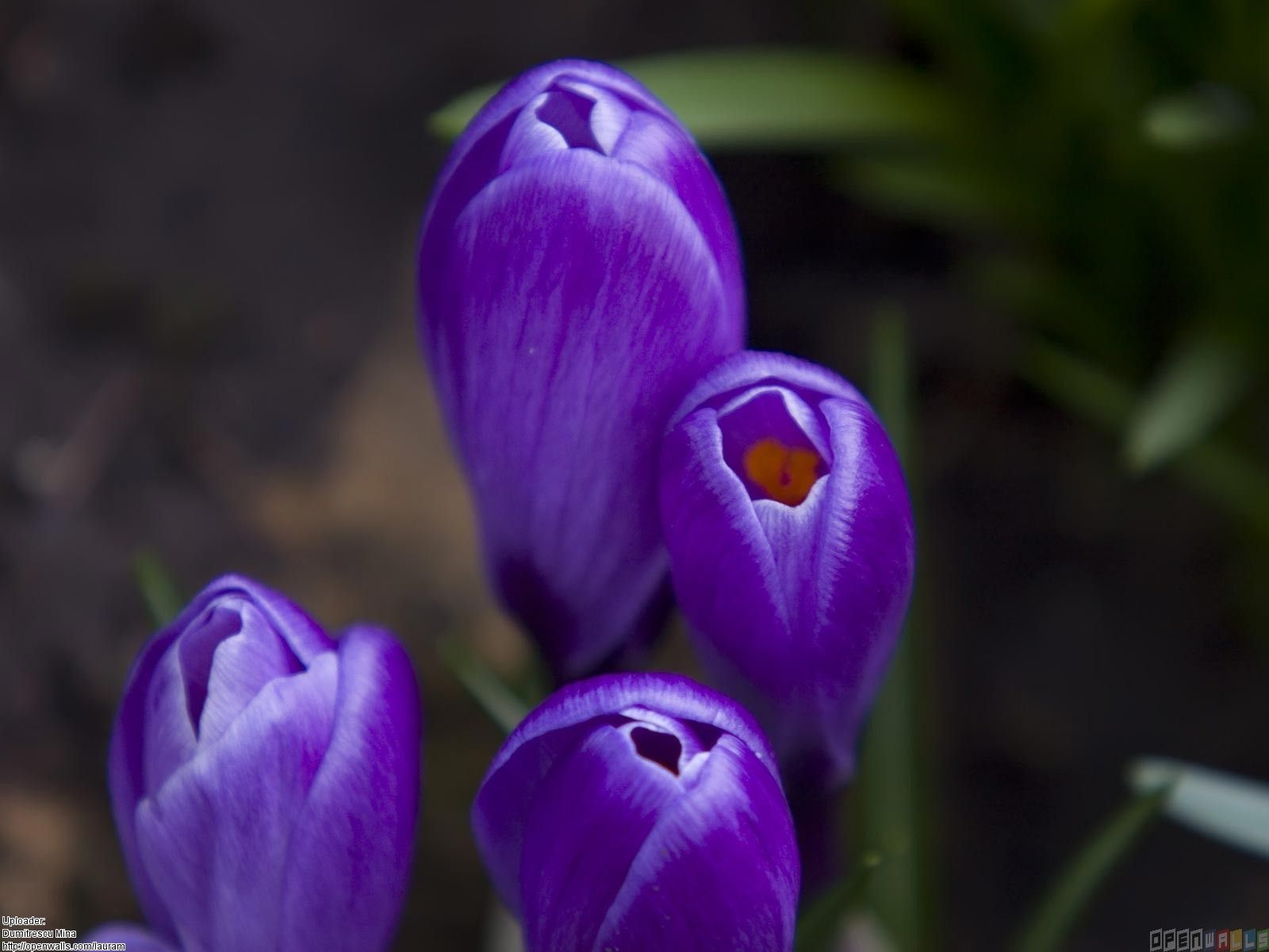 Purplespringflowersnames Purple Crocus Flowers Wallpaper 22751