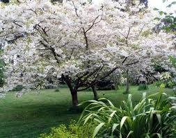 my favorite...flowering cherry tree