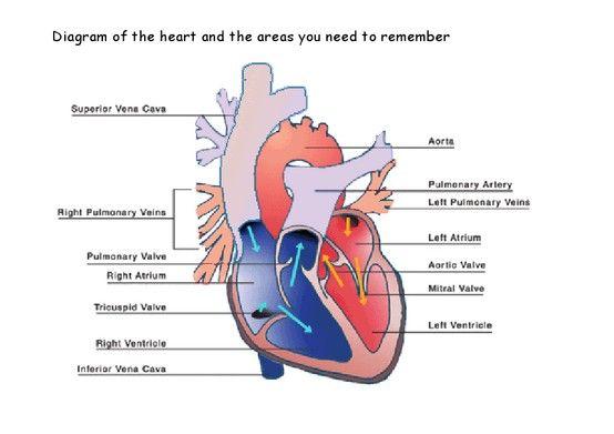 Heart diagram   College Stuff   Pinterest