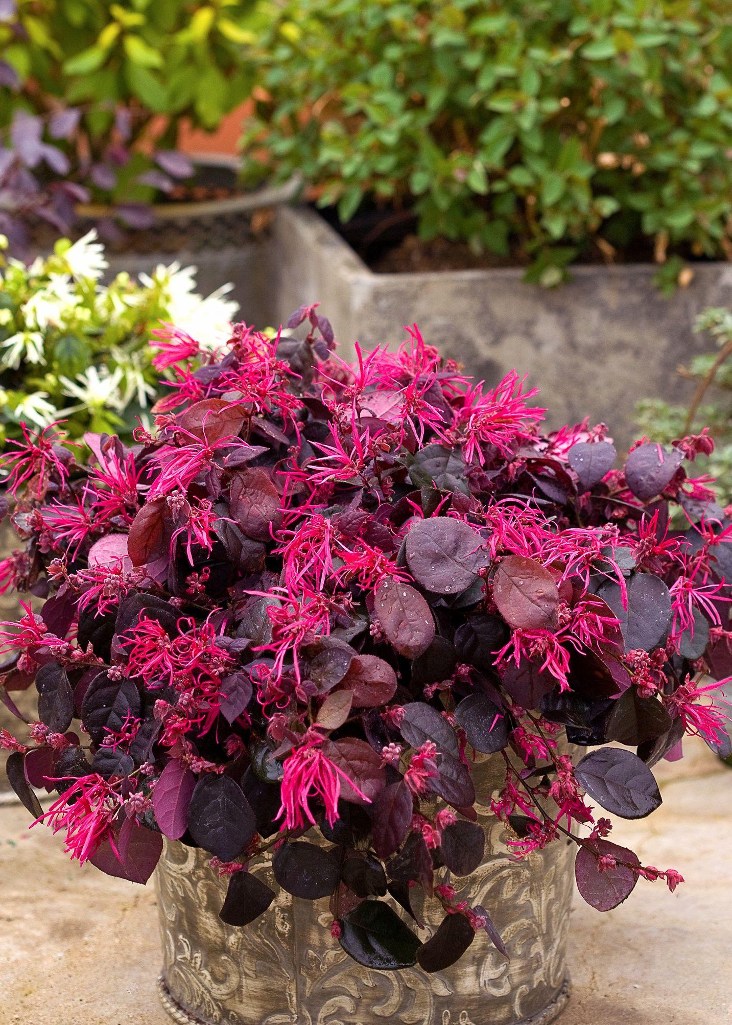Jazz Hands Bold Chinese Fringe Flower Loropetalum Chinense
