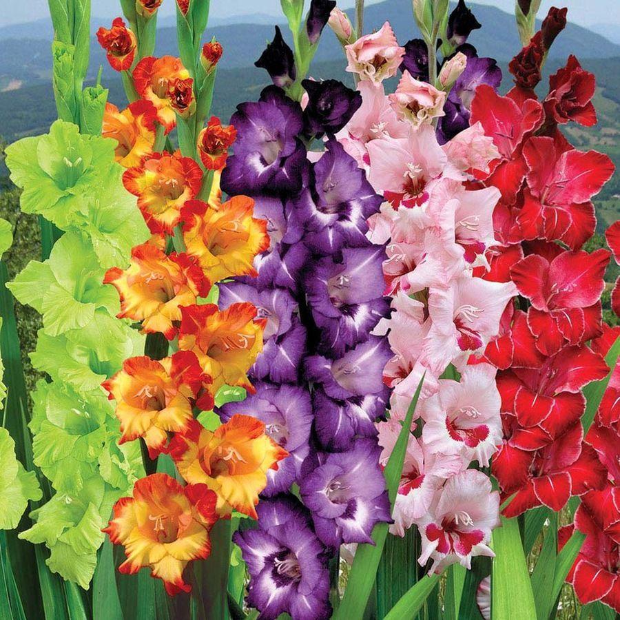 Картинки с цветами гладиолусы