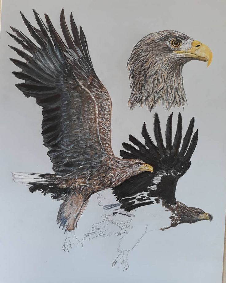 am still working on the drawing of whitetailed eagles  I am still working on the drawing of whitetailed eagles  I am still working on the drawing of whitetailed eagles