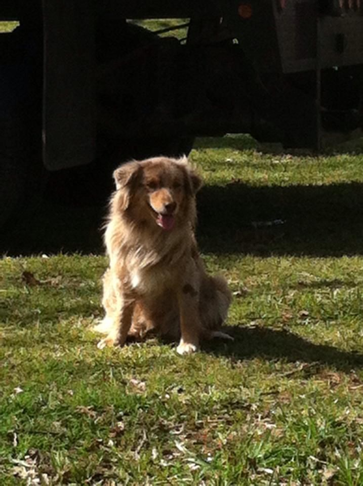 Bonnie Missing Since 3 13 14 From Her Home In Willis Tx Minnie Aussie Red Merle Docked Tail Comes To Her Name Very Friendl Losing A Dog Losing A Pet Pets