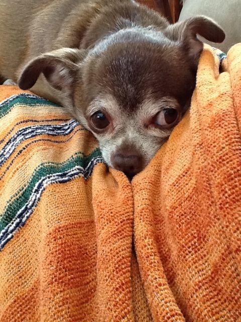 Getting paranoid: http://chihuahuawisdom.wordpress.com/2012/02/08/chihuahua-temptations-threaten/