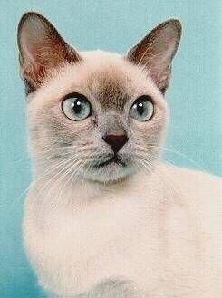 Seaflower Tonkinese Breeders Of Purebred Tonkinese Kittens And Tonkinese Cats Cutest Animals On Earth Cute Animals Tonkinese Cat