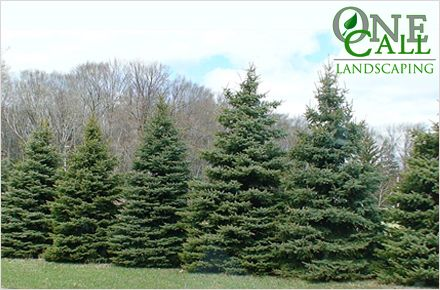 Black Hills Spruceplant Along Propertydrive For The Yard - Black hills spruce bonsai trees