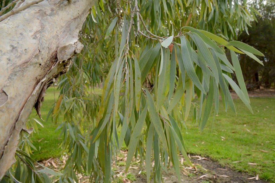Melaleuca argentea slender silvery leaves. Photo: D. Blumer.