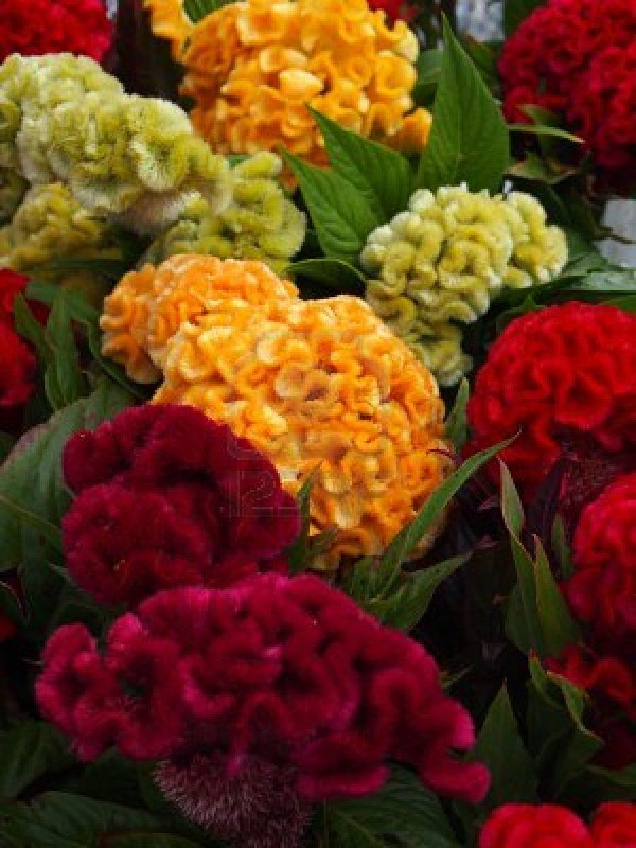 Closeup Of Celosia Cristata Flowers Available In A Variety Of Plant Seedlings Flower Garden Beautiful Flowers