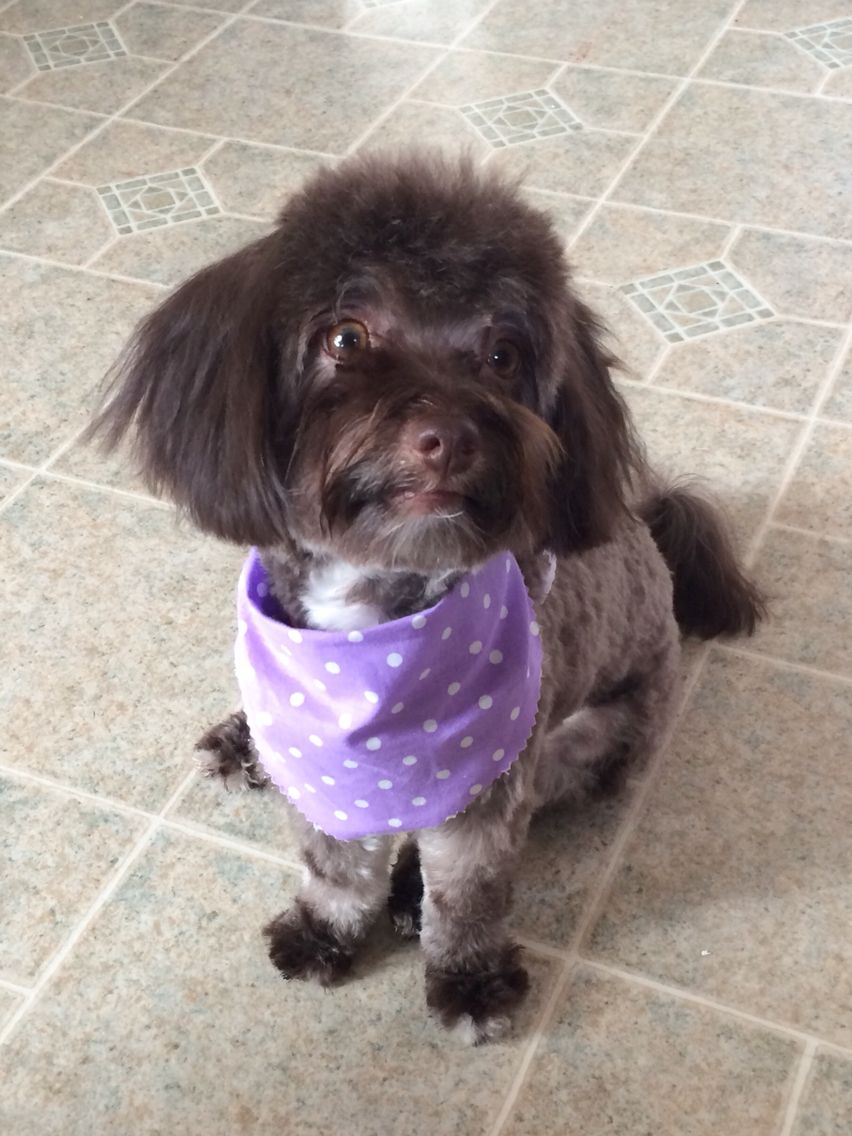 Beautiful, sweet, lovable AKC female Chocolate Havanese dog for sale