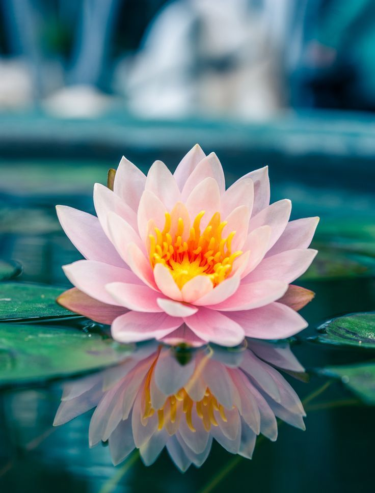 Fotografie Lotus Reflection Artikelnummer-DA00040 - # da00040 #Lotus #Fotografie #Refle ...  - Blumen - #ArtikelnummerDA00040 #Blumen #da00040 #Fotografie #Lotus #quotLotus #Refle #Reflectionquot #lotusflower