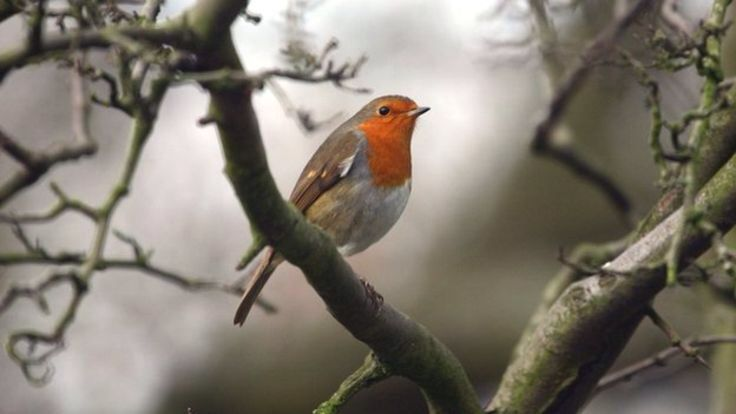 The robin has been voted the UK's favourite bird.