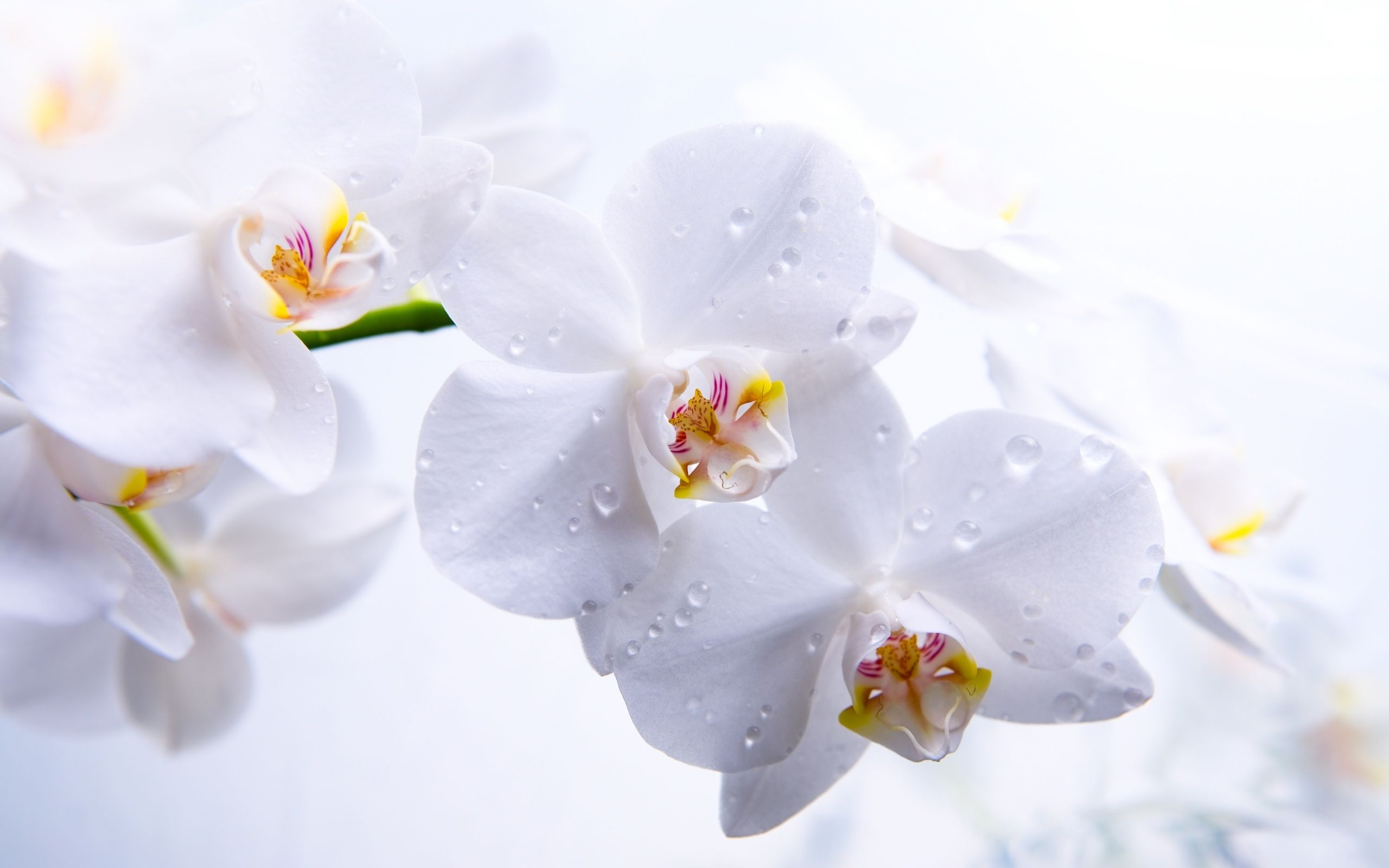 How To Care For Orchids Flower Orchid Wallpaper Beautiful Orchids White Orchids
