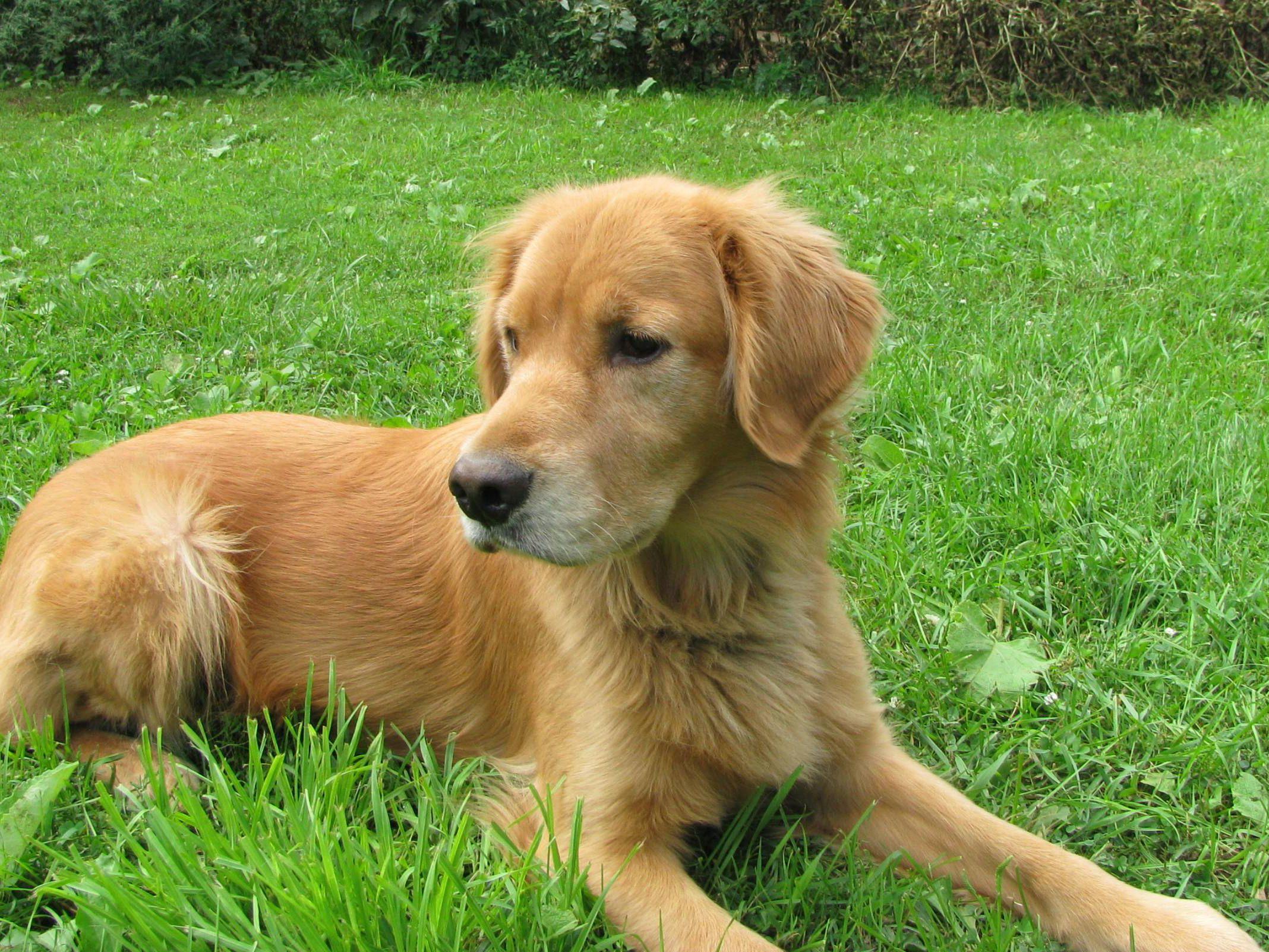 Golden Retriever Rescue Resource Toledo Dog Adoptions Golden Retriever Golden Retriever Adoption Golden Retriever Rescue