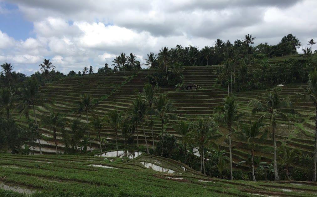 Menakjubkan 30 Pemandangan Sawah Indah Selain Itu Ada Juga Gubuk Kecil Yang Biasa Digunakan Untuk Beristirahat Sembari Menikmat Di 2020 Pemandangan Taman Indah Bali