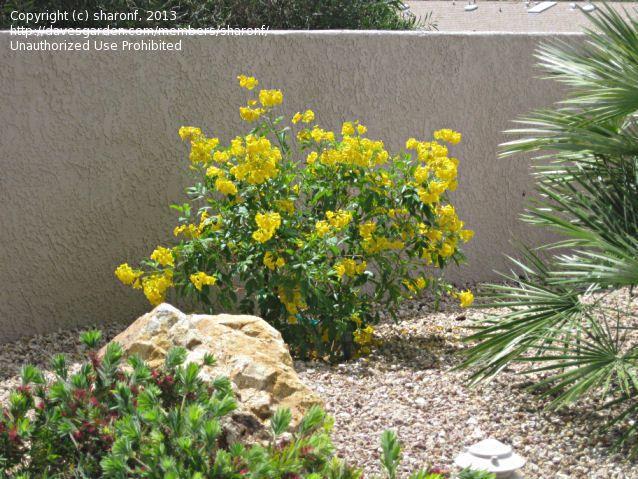 Yellow bells trumpet flower gold star esperanza gardening yellow bells trumpet flower gold star esperanza mightylinksfo