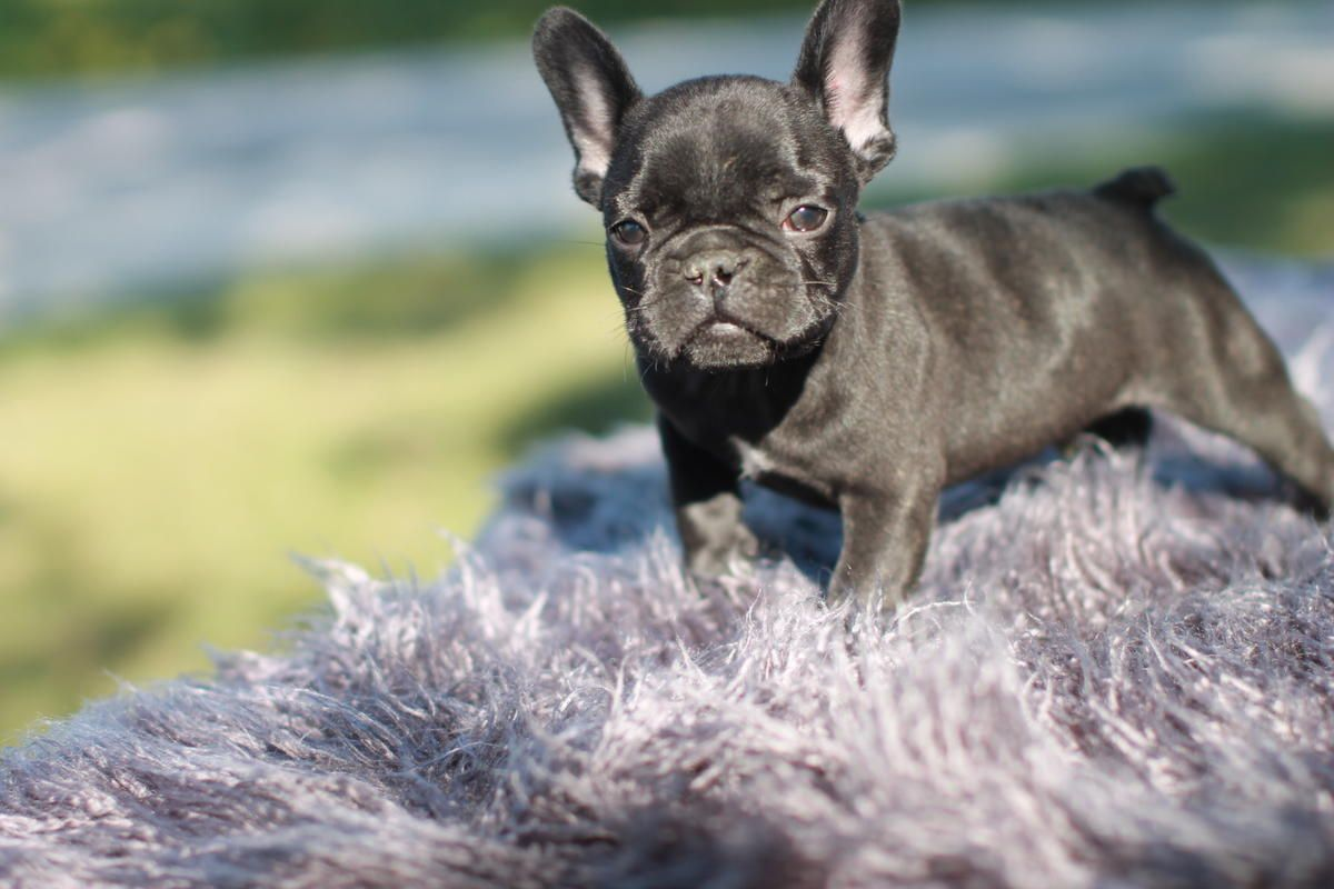 French Bulldog Puppy Looking For There Forever Home Bulldog