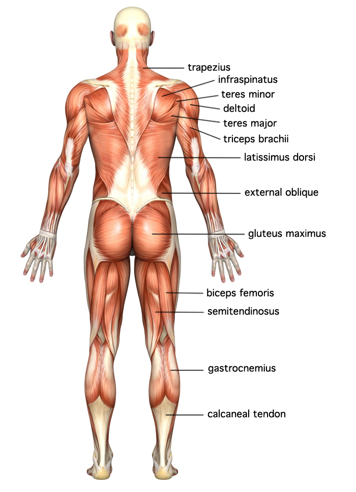 human anatomy physiology muscles online hubpages, there are, Muscles