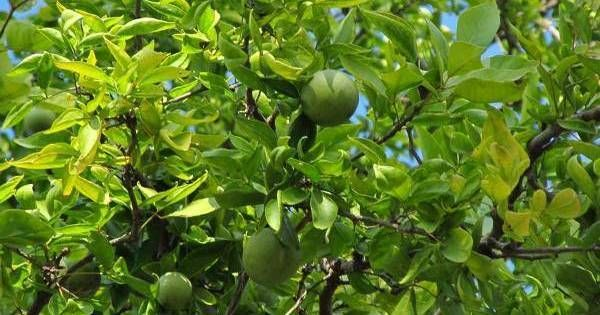 How To Bring Good Luck bring good luckplanting one bilva patra tree, perfect gift to