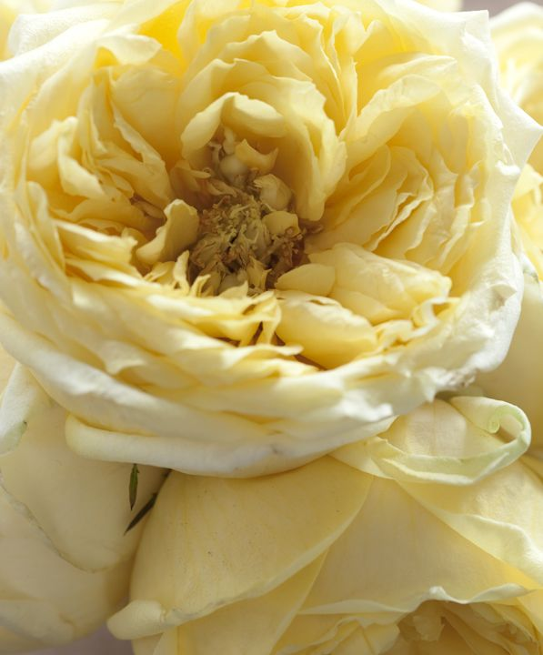Light yellow yellow rose cottage pinterest flowers ght yellow mightylinksfo