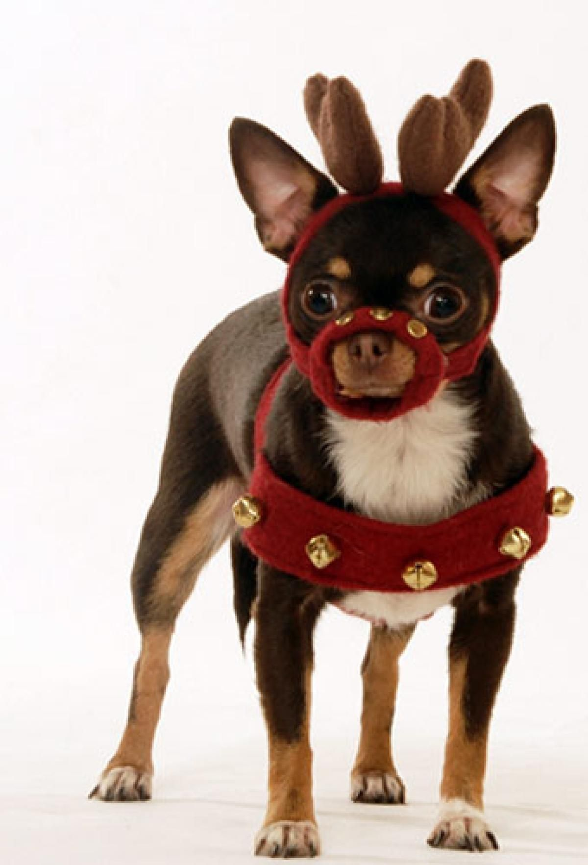 This is Manhattan dog Coco Chanel in her Reindeer Costume.