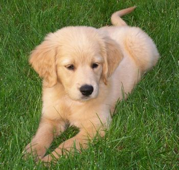 Breed History Golden Cocker Retriever Miniature Golden