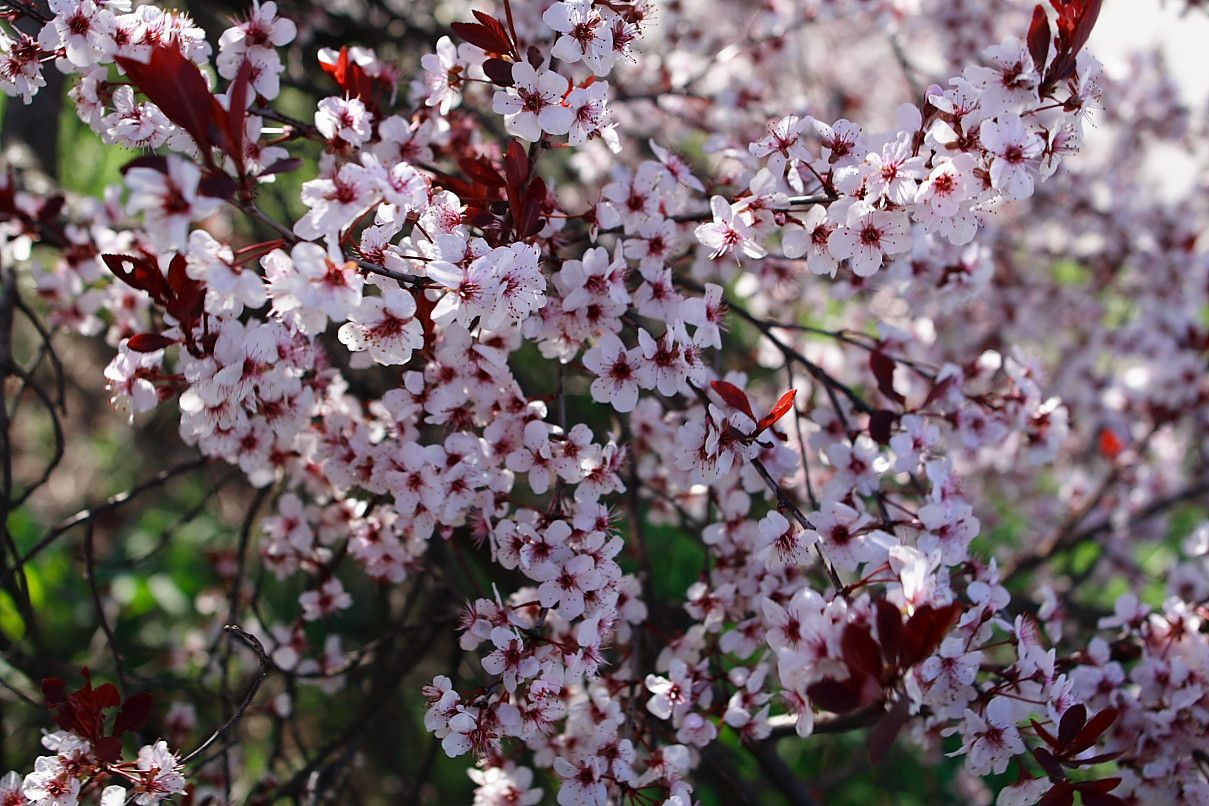 Plum Tree Flowers | Las bellas flores de China sorprenden por su rareza y belleza así ...