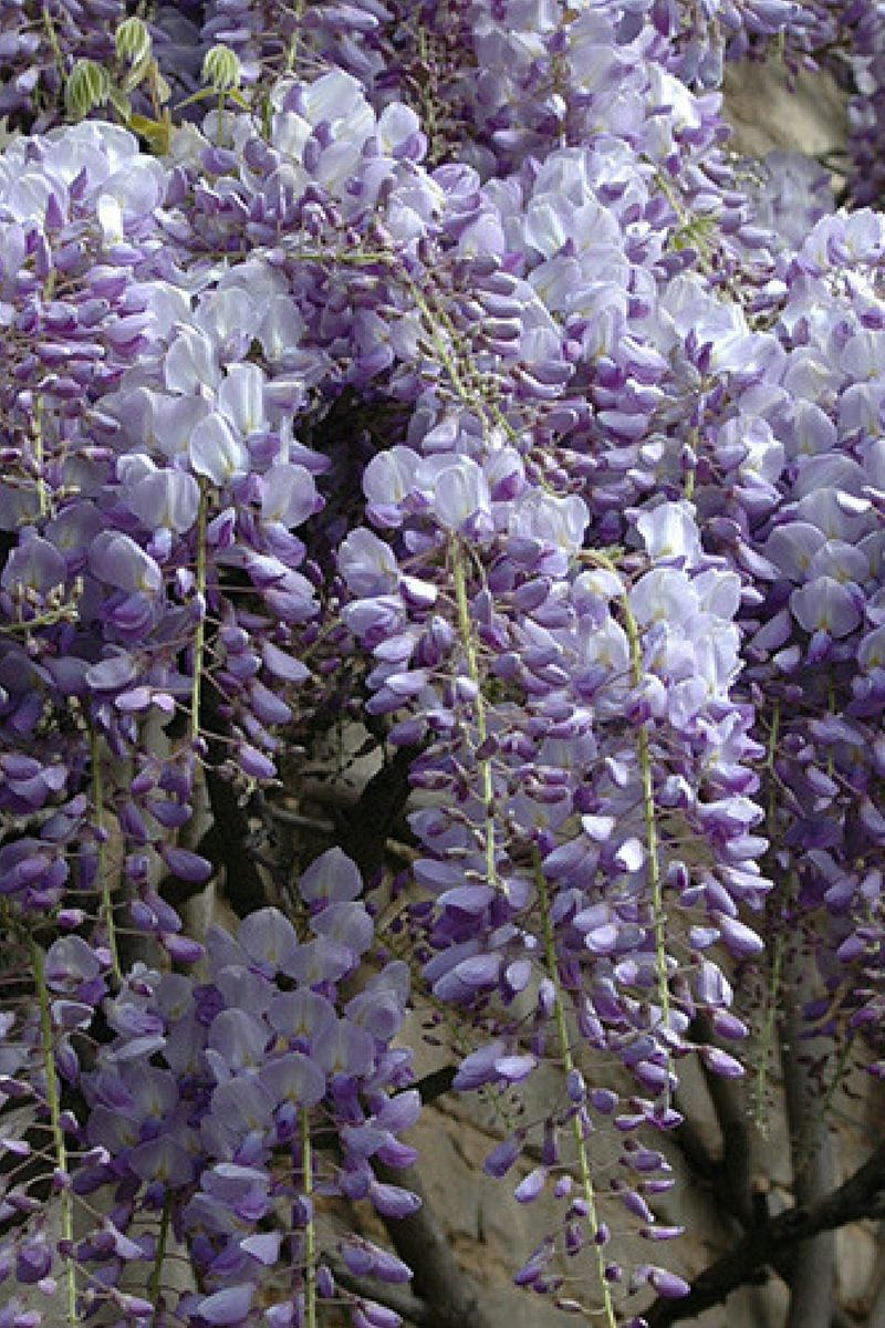 Wisteria Amethyst Falls An Ultra Compact Variety Which Reliably Flowers In Its First Year Affiliate Wister Wisteria Amethyst Falls Flowering Trees Wisteria