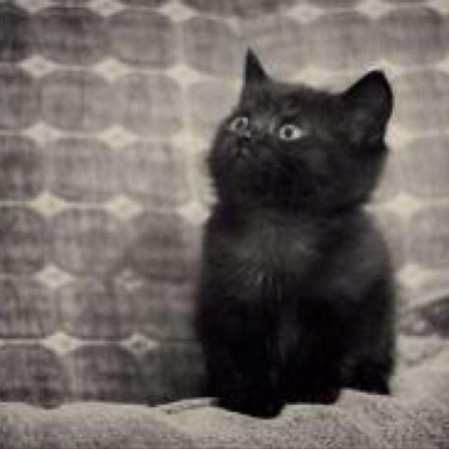 Black Kitten Cat Adorable Cute Black Kitten Black Kitten Cat Lovers