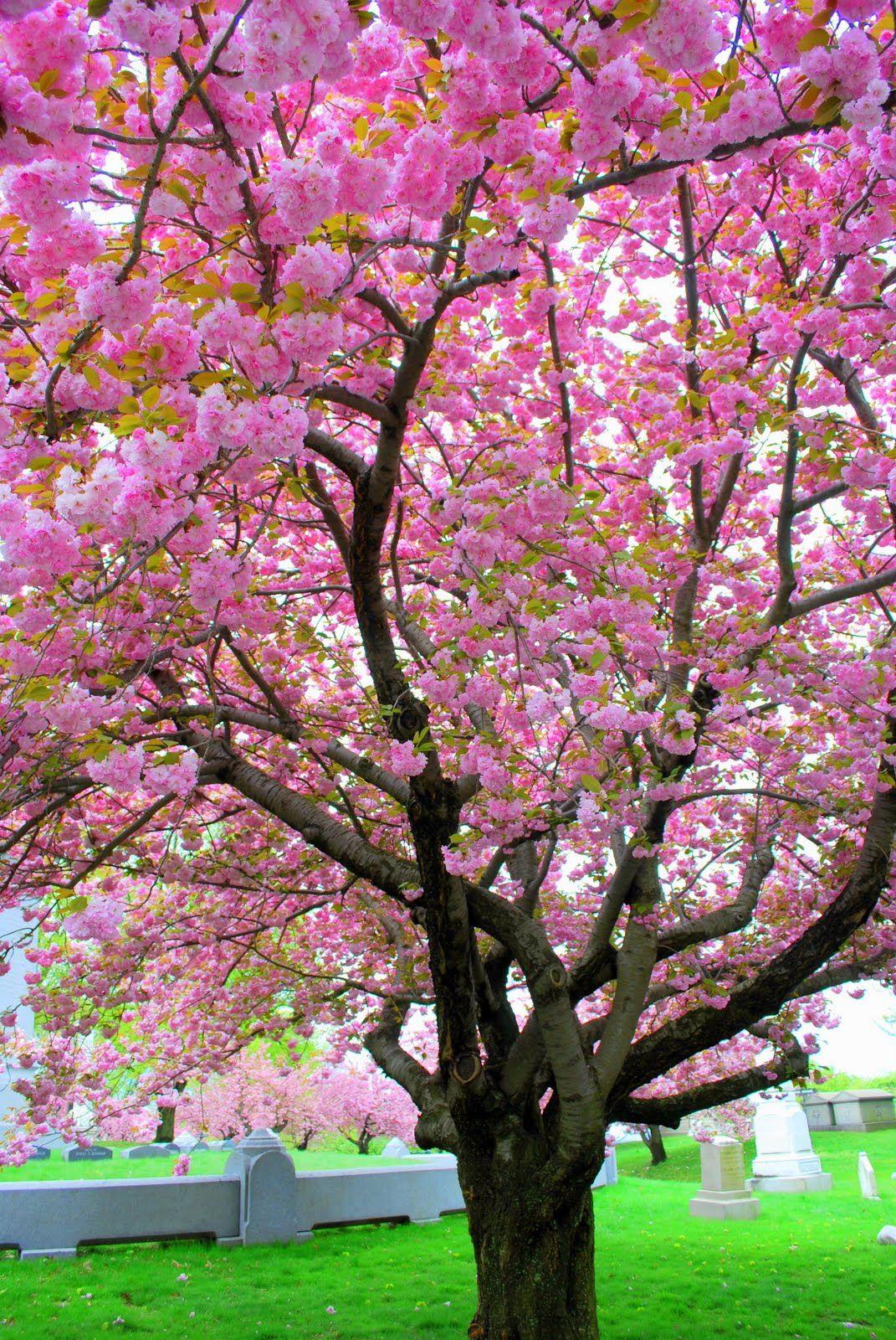 Pink Saturday Pink Trees Pink Trees Blooming Trees Spring Tree