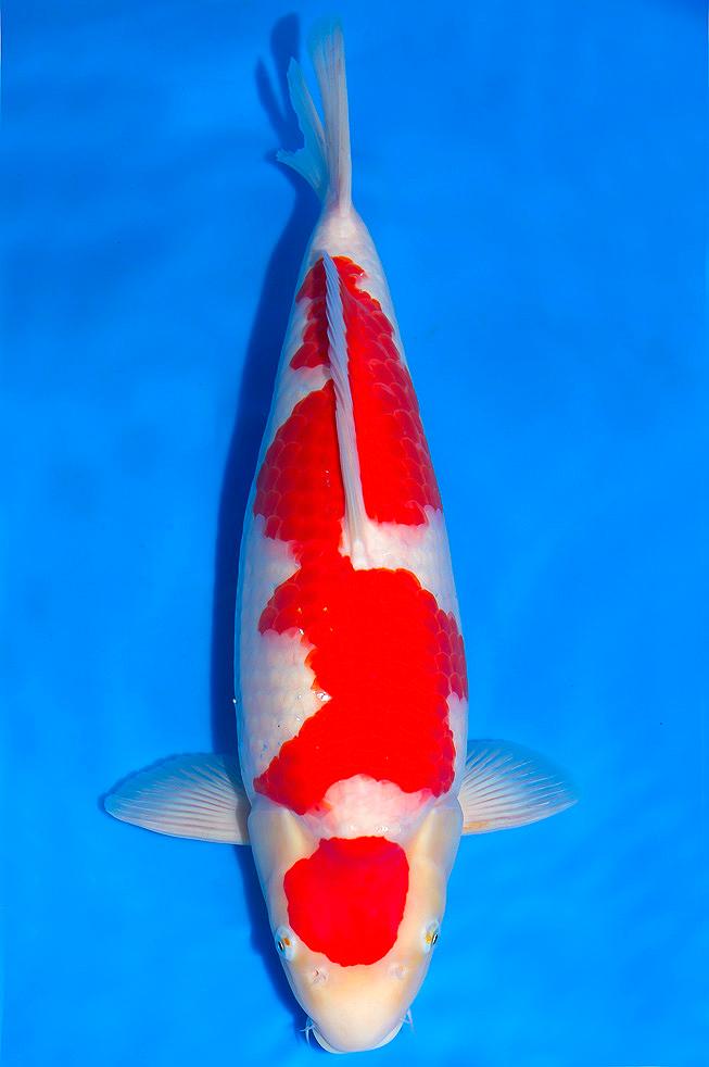 Maruten Kohaku Separate Red Marking On The Head And Additional Red On The Body Koi Carpe Koi Carpe